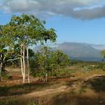 Aleurites moluccana tree