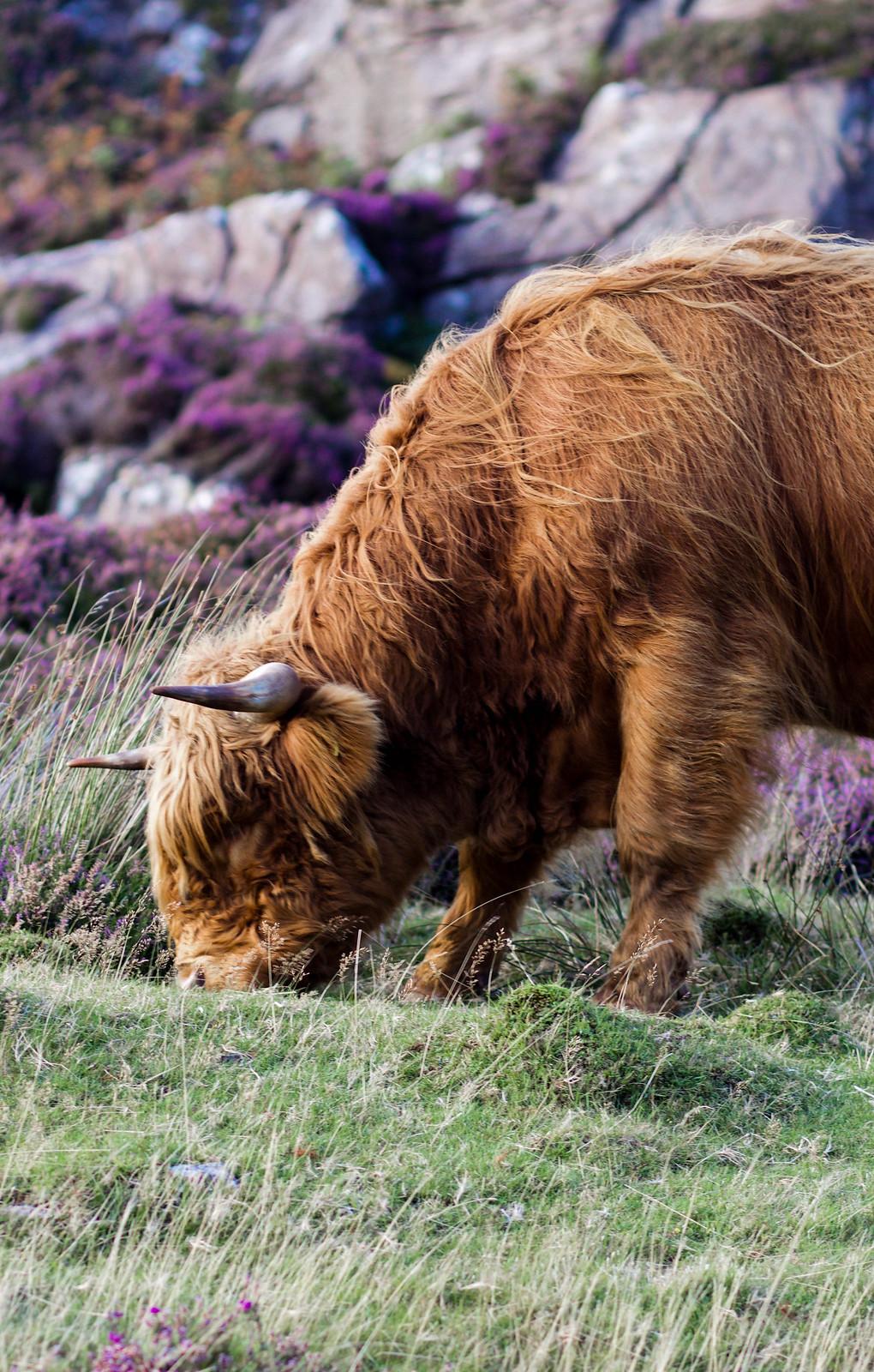 Applecross Peninsula Scotland NC500 Route highland cow travel blogger UK