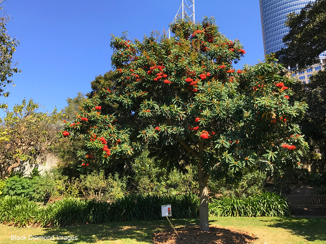 Alloxylon flammeum - Australian Tree Waratah