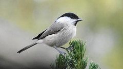 Marsh Tit (Poecile palustris) 作者 eerokiuru