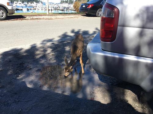 Deer at Roche Harbor