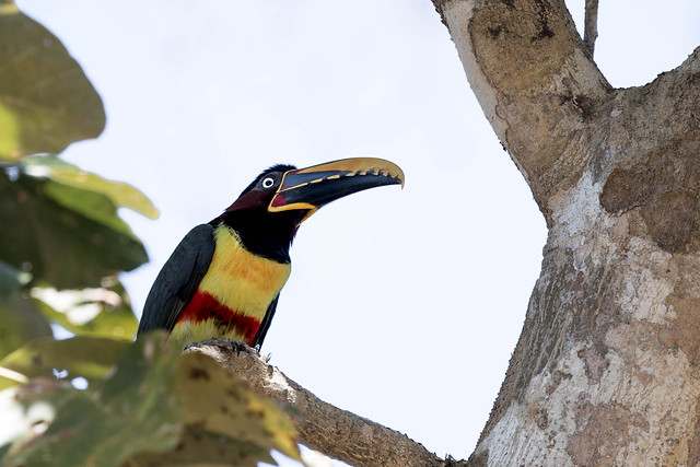 Chestnut-eared Aracari, Canon EOS-1D X MARK II, Canon EF 500mm f/4L IS II USM