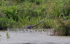 Heron at Assabet River National Wildlife Refuge