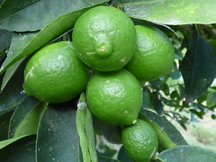 starr-170615-0095-Citrus_latifolia-immature_fruit-Citrus_Grove_Town_Sand_Island-Midway_Atoll