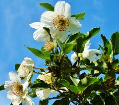 Eucryphia's blooms are fleeting and a magnet for insects