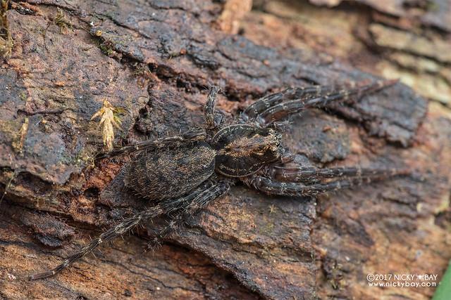 Wandering spider (Ctenus sp.) - DSC_8160
