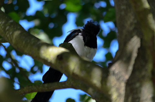 Young magpie preening in tree, West Park