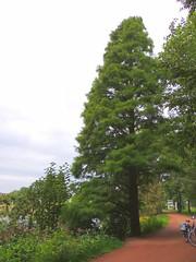 Küstenmammutbaum - Redwood