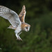 Barn Owl about to land 750_0349.jpg