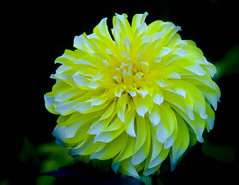 Dahlia, yellow and white