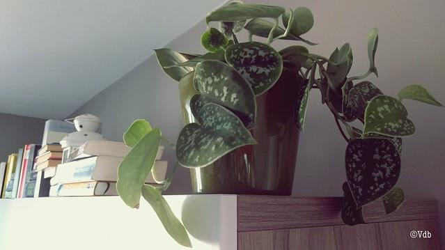 kamerplant scindapsus pictus