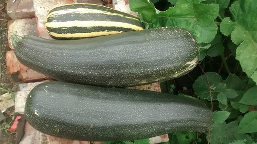 marrows Sept 17 2