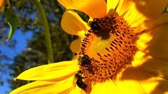 Sunflower & 3 Bees