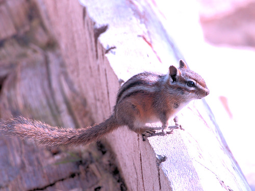 Chipmunk on bird log 2-20170909
