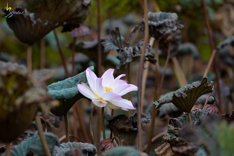 Lotus_5363