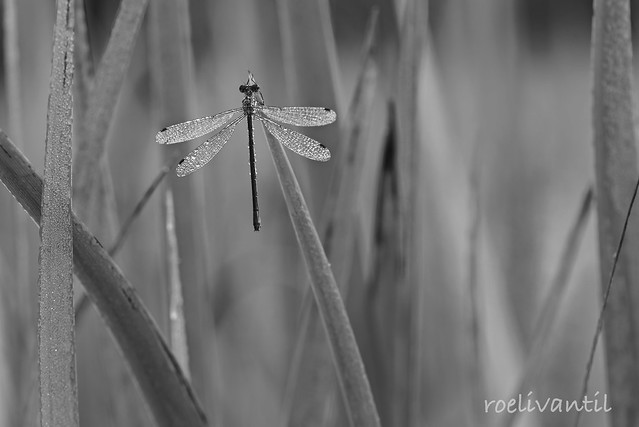 Waterjuffer in het riet/Damselfly in the reed