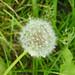 Dandelion seed head, near Paper Mill Lock, river Chelmer navigation, Essex