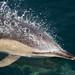 Short-beaked Common Dolphin - Delphinus delphis by Gary Faulkner's wildlife photography