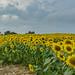 Sunflower field by mgstanton