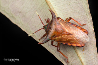 Giant shield bug (Pygoplatys lunatus) - DSC_9066