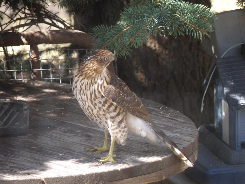 P9204520...Cooper's Hawk