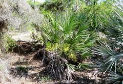 Serenoa repens --  Saw Palmetto beside the trail 0210