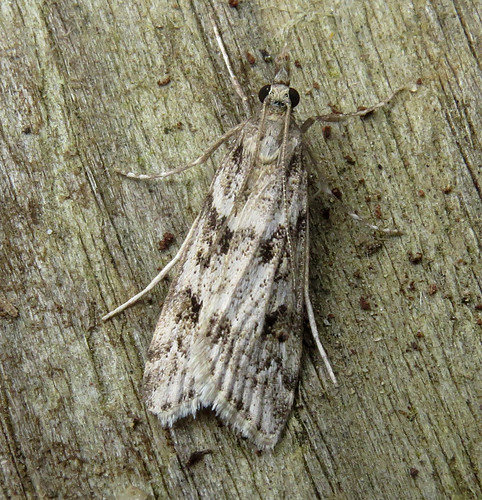Eudonia angustea Tophill Low NR, East Yorkshire September 2017