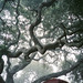 foggy oaks over my tent by Sam Hay