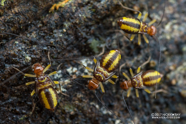 Barklice (Psocoptera) - DSC_7986
