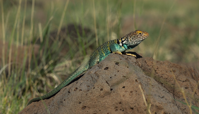 Eastern Collared Lizard Crotaphytus, RICOH PENTAX K-3, smc PENTAX-DA* 60-250mm F4 [IF] SDM