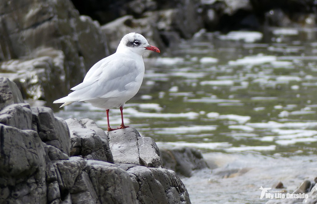 P1100869_2 - Mediterranean Gull, Bracelet Bay
