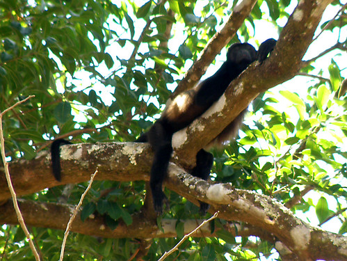 barrahonda brüllaffe costarica guanacaste