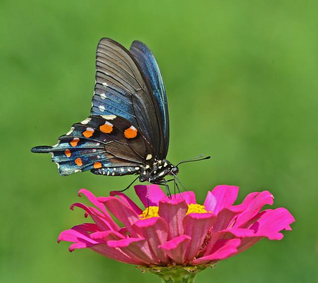 Pipevine Swallowtail, Nikon D800, AF-S Nikkor 300mm f/4D IF-ED