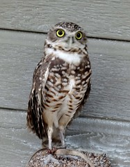 The burrowing owl.
