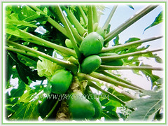 Fruiting Carica papaya (Papaya, Papaw, Pawpaw, Melon Tree, Betik in Malay) with petiolate green leaves, 4 Sept 2017