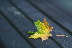 Autumn Leaf #260/365