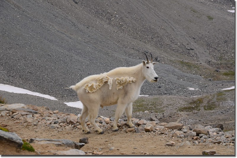 Mountain Goat (4)