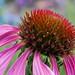 2017 08 05 - pink echinacea 5