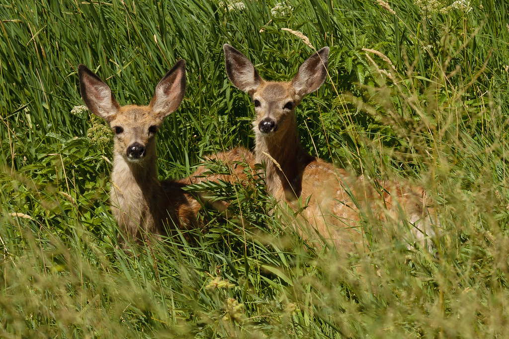 Two white-spotted mule deer fawns in tall grass in Smith Rock State Park
