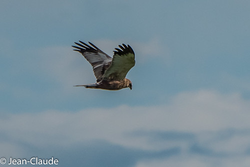 Circus aeruginosus ♂ - Marsh Harrier