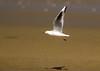 Slender-billed Gull (Chroicocephalus genei), adult summer