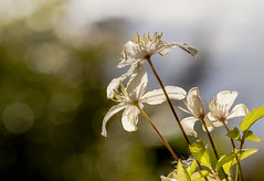 fine art colour shot of white clematis gleaming in the sun and bokeh of a Scottish afternoon, A Potterton Garden, Aberdeenshire, Scotland