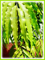Fresh and shining green foliage of Polyalthia longifolia (False Ashoka, Buddha Tree, Mast Tree, Indian/Weeping Mast Tree), 1 Aug 2017