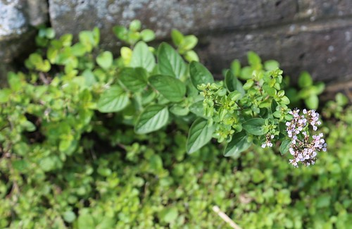 Wild Marjoram - near Petworth