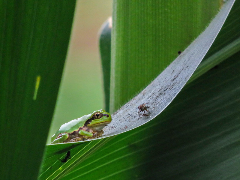 Japanese tree frog and fly