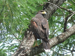 Harris's Hawk, Sabal Palm Sanctuary, TX  7/30/2017