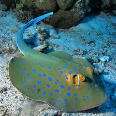 Bluespotted Ribbontail Ray, Taeniura lymma