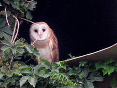 Barn Owl, Mifflin Co., PA 7/10/2017