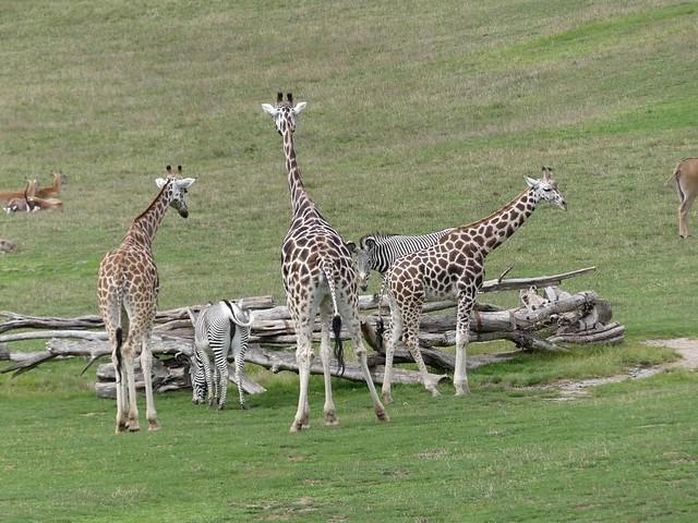 Afrikasavanne, Zoo Prag