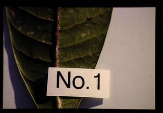 E.Herbicala = マンゴーのかいよう病(接種試験NO.1)
